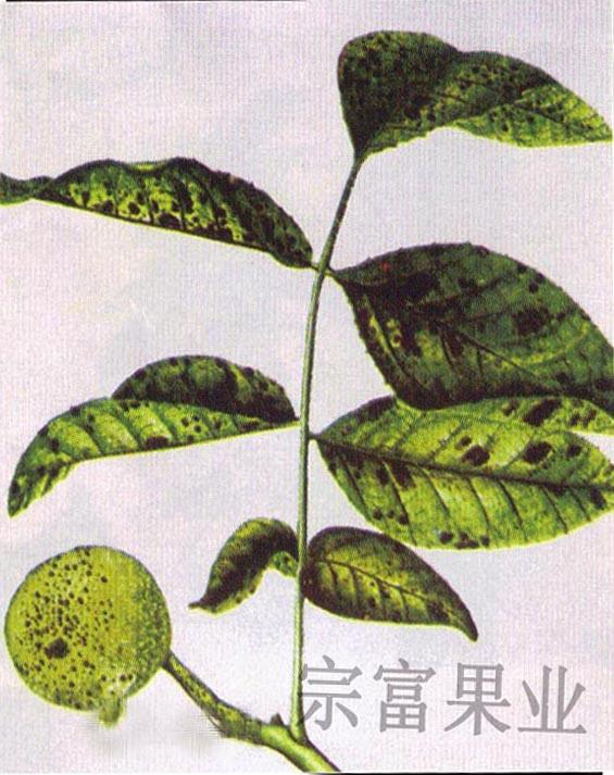 长形树叶简笔画